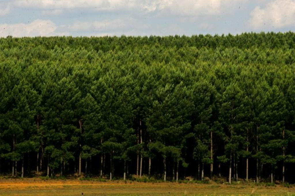 Projeto de Lei quer disciplinar o reflorestamento de pinus no Paraná