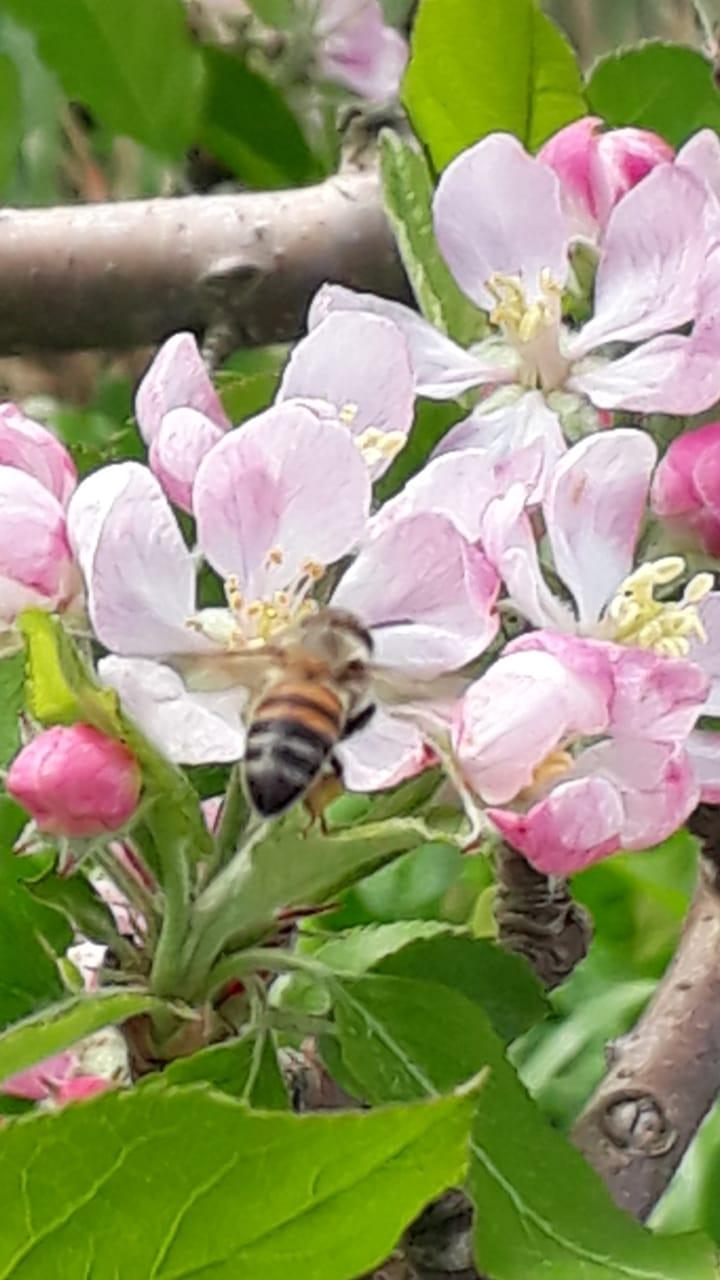 Excesso de chuva prejudica polinização das macieiras