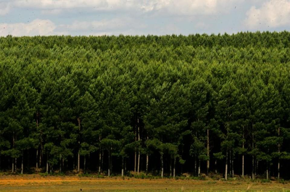 Dia da Silvicultura: Palmas precisa de 540 mil hectares de florestas