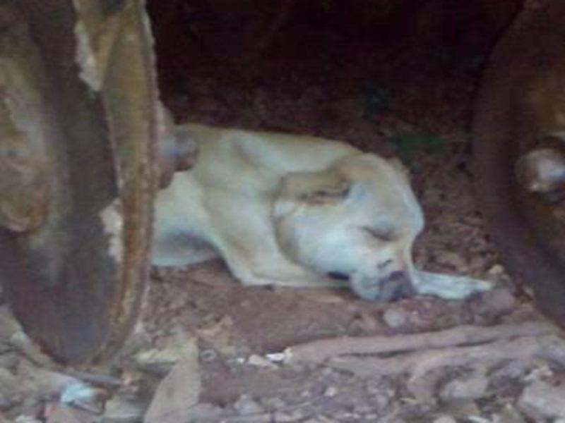 Cão morre após ser atacado por cobra no interior de Ampére