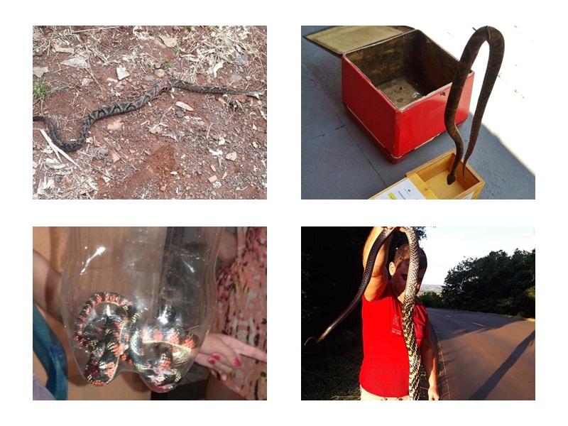 Aumenta aparecimento de cobras venenosas na região