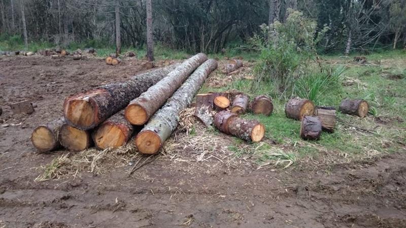 Polícia Ambiental constata corte de mais de cem Araucárias em Pinhão