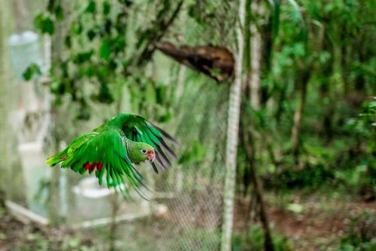 Parceria ambiental realiza nova soltura de papagaios na região