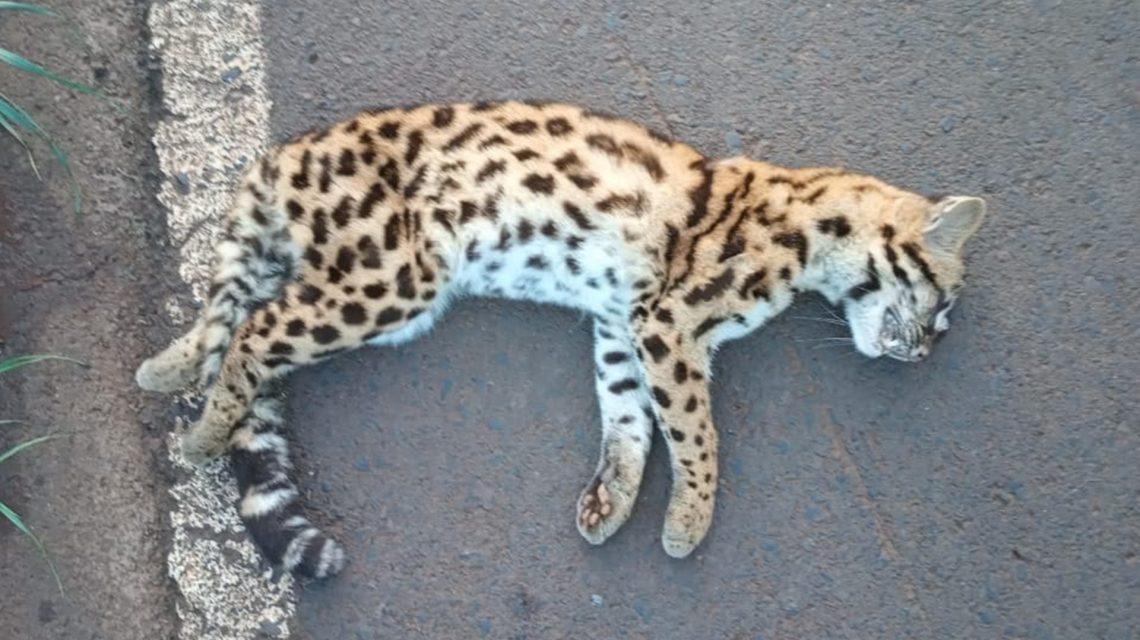 Jaguatirica é encontrada morta na rodovia dos Imigrantes em Chopinzinho