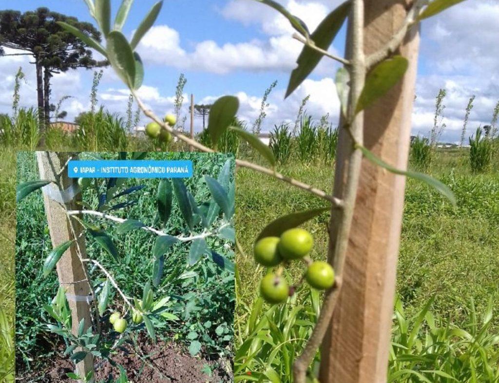 oliveiras1