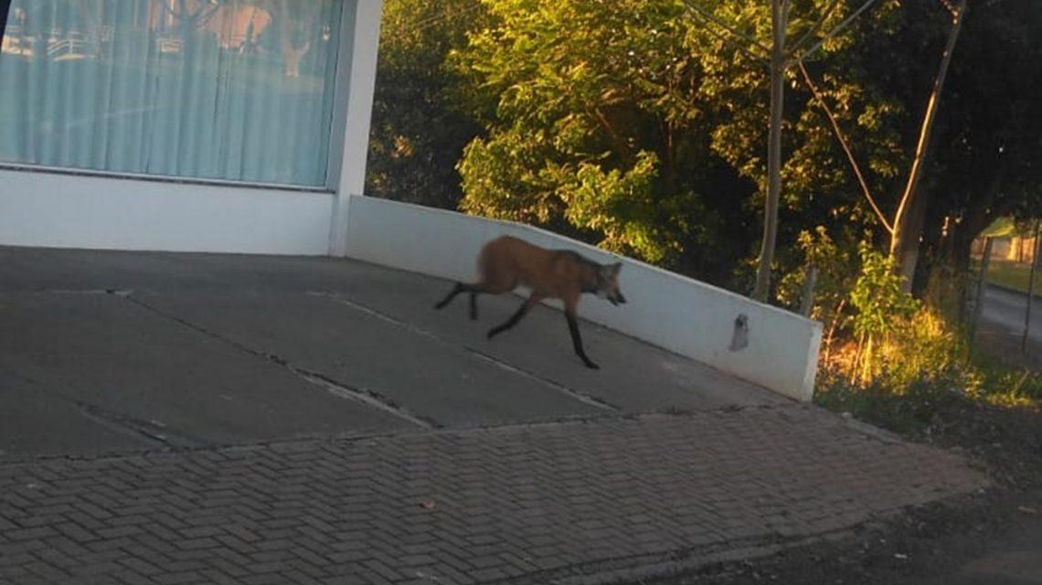 Órgãos ambientais buscam resgatar Lobo-guará avistado em Chopinzinho