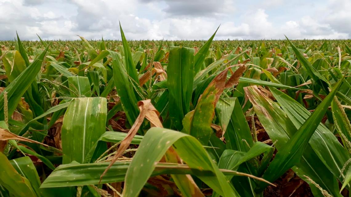 Mesmo com chuvas prejuízos na agricultura devem passar de 200 mi no Sudoeste