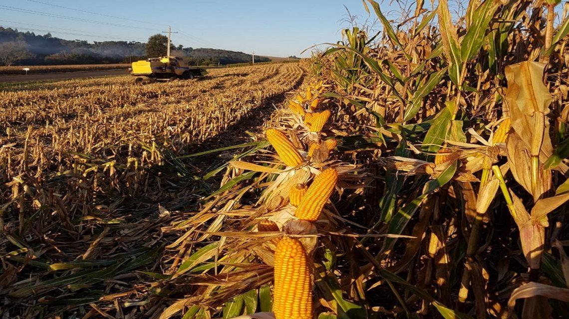 Colheita do milho safrinha inicia no Sudoeste