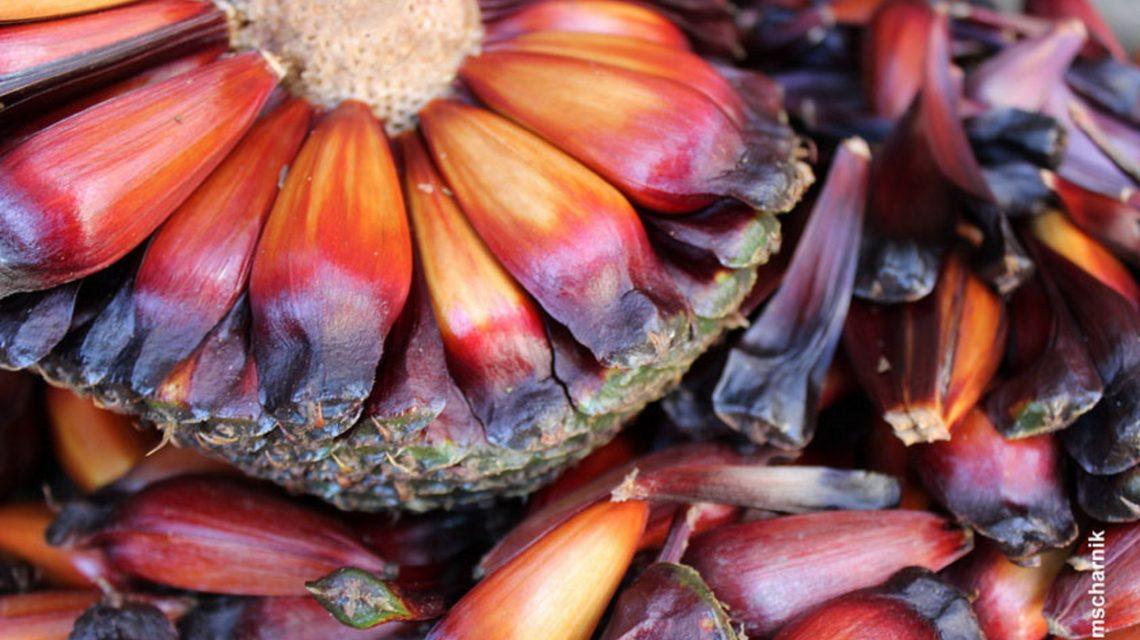 Pinhão pode ser uma boa alternativa para os produtores rurais do Paraná